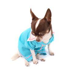 Free Chihuahua Stock Photos - 3296353