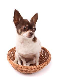 Free Chihuahua Royalty Free Stock Image - 3296356