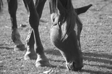 Free Horse Grazing Peacefully BW Royalty Free Stock Images - 3297089
