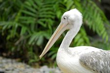 Free Pelican Bird Stock Photography - 3297422