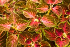 Free A Red - Stinging-  Nettle - Ba Royalty Free Stock Photos - 3297818