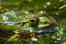 Free Common Water Frog Royalty Free Stock Photography - 3298047