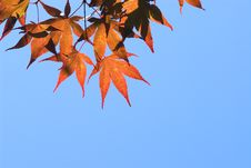 Free Red Maple Leaves Royalty Free Stock Image - 3298146
