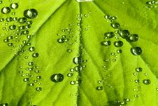 Water Drops On The Leafs Royalty Free Stock Photo