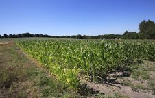 Free Maize Corn Field Stock Photography - 3298862