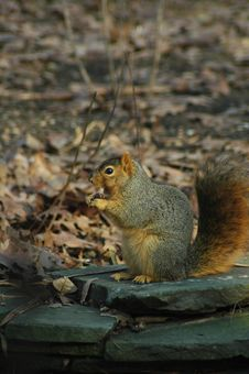 Free Squirrel Eatting Royalty Free Stock Photography - 3299177