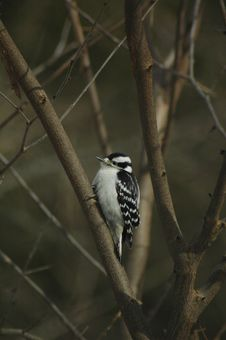 Free Downy Woodpecker Royalty Free Stock Photos - 3299288