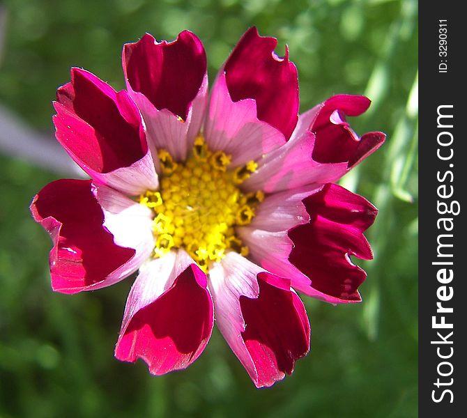 Pink Pocket Flower