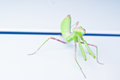 Free Green Mantis  On  White Background Stock Image - 32949271