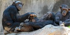 Free Chimpanzee Stock Images - 32968014