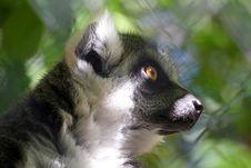 Free Lemur Royalty Free Stock Photos - 32968288