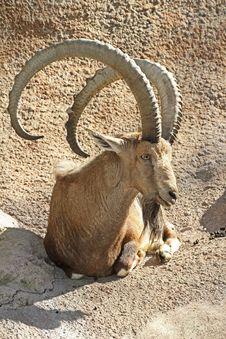 Free Nubian Ibex Stock Photo - 32968290