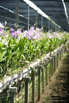 Free Orchid Flower Farm Royalty Free Stock Photography - 32969657