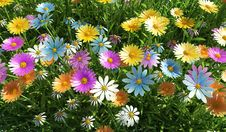 Flowers Of Different Colors, In A Grass Field. Stock Image