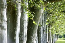 Free Alley Of Trees Stock Image - 32971381