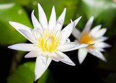Free White Lotus Stock Image - 32971831