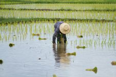 Free Thai Peasant Agriculture Stock Photo - 32980550