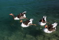 Free Geese In The Lake Royalty Free Stock Images - 32996859