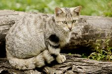 Free Wild Cat Royalty Free Stock Photography - 32997067