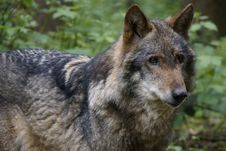 Free Closeup Of A Wolf Royalty Free Stock Images - 32998219