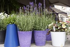 Lavender In Pots Royalty Free Stock Images