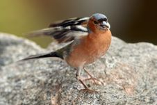 Free Chaffinch In Nice Pose - Portrait Royalty Free Stock Photo - 32999155