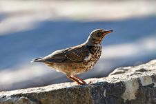 Free Red Wing Thrush Stock Images - 32999934