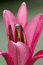 Free Red Lily Bud Blossom Royalty Free Stock Image - 32999326