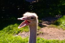 Free Ostrich Stock Images - 330034