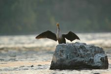 Cormorant Drying Wings Stock Image