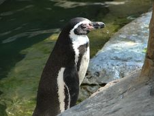 Free Little Penguin Royalty Free Stock Photos - 330378