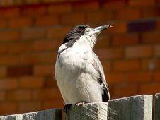 Free Butcher Bird Royalty Free Stock Photo - 330525