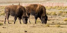 Buffalo Calves Royalty Free Stock Photography