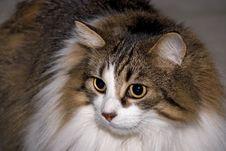 Cat Musja 02 Royalty Free Stock Photography
