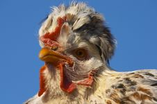 Free Hen Portrait 2 Stock Photography - 332942
