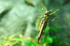 Free Giant Grasshopper Royalty Free Stock Images - 333109
