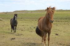 Free Icelandic Horses Stock Photography - 333222