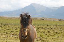 Free Icelandic Horse Stock Image - 333231