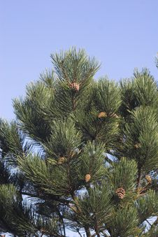Conifer Tree With Blue Sky Stock Photo