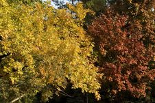 Free Two Trees In Autumn Stock Image - 333621