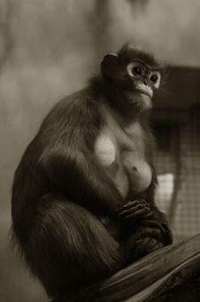 Free Gazing Chimp Stock Images - 334714