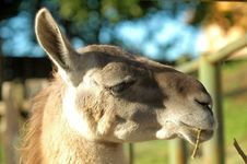 Free Camel Profile Royalty Free Stock Photo - 335475