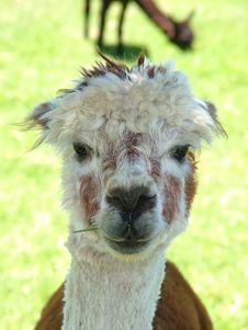 Free Lama Stock Photo - 335560