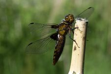 Free Dragonfly Royalty Free Stock Photography - 336287