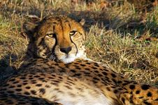 Free The Cheetah Has A Rest Royalty Free Stock Photography - 336937