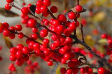 Free Branch Of Red Berries Close-up Royalty Free Stock Image - 337526