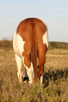 Free Paint Horse Rear End Stock Image - 337651