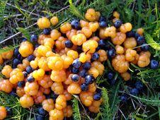 Free Cloudberries And Bilberry_02(moroshka) Royalty Free Stock Image - 337736