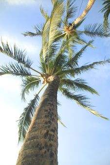 Free Looking Up Into A Palm Tree Royalty Free Stock Image - 339436