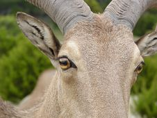 Free Aoudad Eye Royalty Free Stock Photo - 339715
